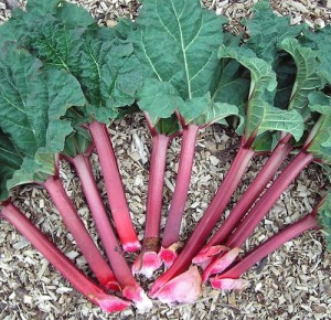 rhubarb via wikimedia.org