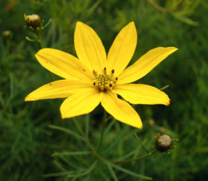 Coreopsis verticillata Photo by: By I, Chrumps, CC BY-SA 3.0, https://commons.wikimedia.org/w/index.php?curid=2371504