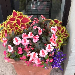 Coleus and Impatiens in one of the Downtown Traverse City Pollinator Planters